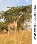 giraffe on the african plains ... | Shutterstock . vector #205584523