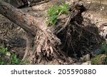 A Large Tree Uprooted By A...