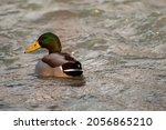Mallard Duck In Dirty Water ...