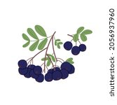Black Currant With Leaf Growing....