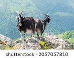 Two Pyrenean Goats Standing On...