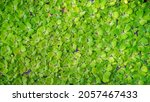 the clover leaves texture on... | Shutterstock . vector #2057467433