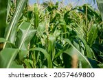 the lushness of the cornfield... | Shutterstock . vector #2057469800
