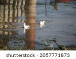 Seagulls In A Blue River With...