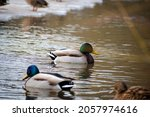 Mallards Swimming In The River. ...