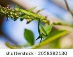 Praying Mantis Resting On A...