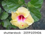 Hibiscus Is A Genus Of...