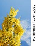 Australian Wattle Blooms...