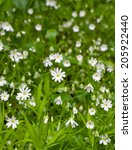 Small photo of Stellaria holostea (or addersmeat, or greater stitchwort)