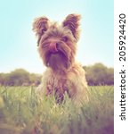 A Cute Yorkshire Terrier Toned...