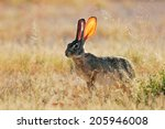 scrub hare  lepus saxatilis ... | Shutterstock . vector #205946008