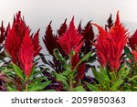 Celosia Plant  Red Feathery...