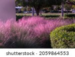 Pink  Feathery Soft Muhly Grass ...