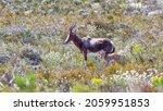 A Young Bontebok Antelope ...