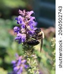 Carpenter Bee On Purple Sage...
