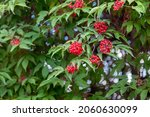A Bush Of Ripe Viburnum  Bright ...