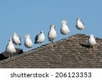 California Gulls Posing In A...