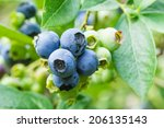 Fresh Blueberries On The Bush...