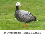 Small photo of Emperor goose, Anser canagicus of the family Anatidae, also known as the beach goose, or painted goose in the UK rain.