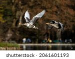 Small photo of The greylag goose, Anser anser is a species of large goose in the waterfowl family Anatidae and the type species of the genus Anser. Here flying in the air.