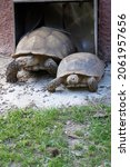 Close Up Of Two Large Tortoises