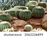 Echinocactus Grusonii  Golden...