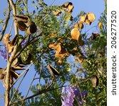 Dried Pod Seeds Of Purple Blue...