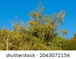 Birch Treetops In Autumn And...