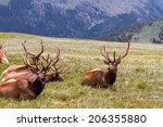 Group Of Large Male Bull Elk...