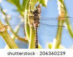 Yellow Winged Darter Dragonfly...