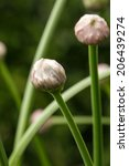 Small photo of Allium nutans flower head
