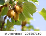 Small photo of Actinidia deliciosa, plant of kiwifruit with golden fruit