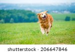 Stock photo golden retriever dog running on the field 206647846