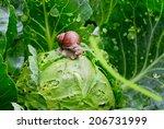 Garden Snail  Helix Aspersa  Is ...