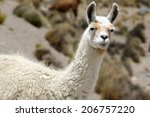 a lama portrait  peru | Shutterstock . vector #206757220