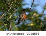 robin   Shutterstock . vector #2068599