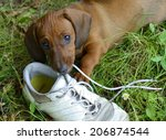 Stock photo dachshund puppy plays with shoe outside in grass 206874544