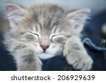 Stock photo kitten sleeping on his owner s legs 206929639