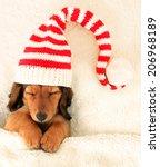Longhair Dachshund Puppy Asleep ...