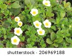 Small photo of Aleutian avens (Geum pentapetalum) in Hokkaido, Japan