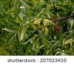 fraxinus pennsylvanica green... | Shutterstock . vector #207023410