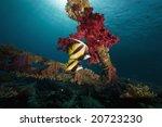 red sea bannerfishes  heniochus ... | Shutterstock . vector #20723230