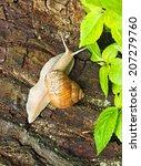 Large Pomatia Snail On A Tree...