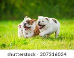 Stock photo english bulldog puppies running outdoors 207316024