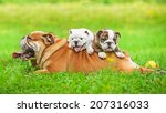 Stock photo english bulldog with puppies 207316033