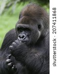 Small photo of An alpha male gorilla is the leader of his group.