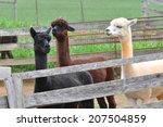 Alpaca herd at a fiber farm in Siler City, North Carolina near Raleigh.