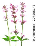 Small photo of Mexican giant hyssop (Agastache mexicana, Syn Cedronella mexicana), flowering plant isolated in front of white background