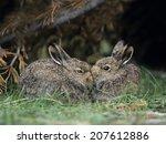rabbits nuzzling | Shutterstock . vector #207612886