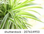 An Image Of Spider Plant
